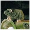 Ratte Rille